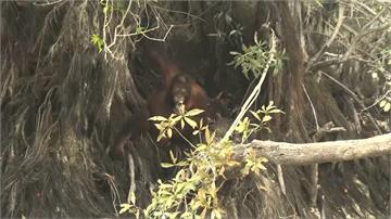 保育悲歌!印尼野火霾害擴散 紅毛猩猩呼吸道感染