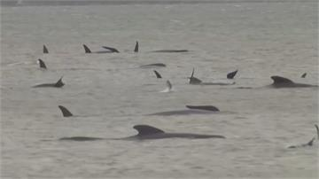 搶救鯨魚大作戰!超過200頭領航鯨擱淺澳洲海岸