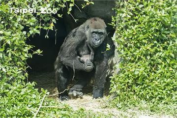 快新聞/金剛猩猩寶寶名字出爐! 「Jabali」音似「呷百二」高票獲選