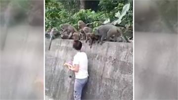 叫妳別餵食!女子遭猴群伸手搶食險踉蹌