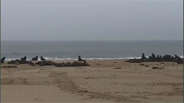 7千海狗寶寶橫屍海灘 納米比亞海狗離奇集體早產