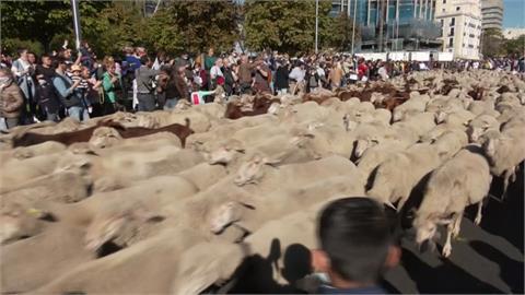 叮叮噹!上千羊兒帶鈴鐺逛街 西班牙馬路「大塞羊」