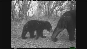 自動照相監測網建功! 台灣黑熊、石虎、麝香貓現形