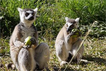 動物也圍爐過年? 遊樂園幫狐猴準備大餐
