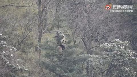 野生大貓熊「激烈打鬥」  中國拍到罕見求偶畫面!
