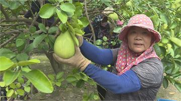 6號颱風海陸警齊發 柚農忙採收、固定枝幹