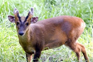 保育動物變食材  知名餐廳用山羌山羊入菜