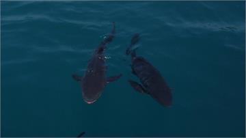 讓懷孕海鱺回歸大海!公益團體澎湖放養