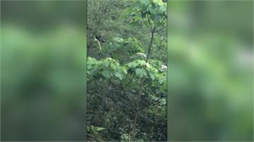 農民田裡耕作 驚見台灣藍鵲大戰青竹絲