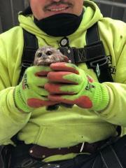 洛克斐勒耶誕樹 意外發現北美最小貓頭鷹