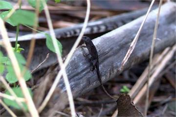 外來種蜥蜴亂七星潭生態 林管處培訓捕蜥高手