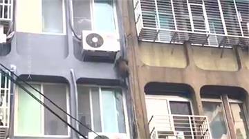 棄養?走丟?公寓當樹爬台灣獼猴大鬧台北市區