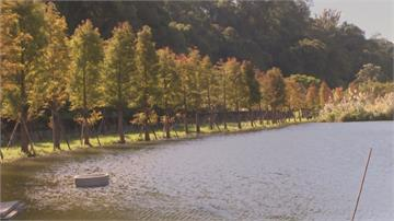 落羽松新秘境!大溪月眉生態公園 生態池倒映火紅落羽松 超美!