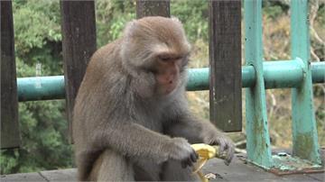 台東月薪23K徵「驅猴人」工作放鞭炮趕猴子