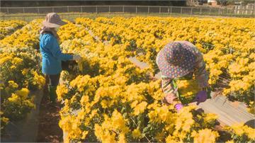 耗時3年培植金絲大皇菊一朵能賣到60元! 泡出好茶經濟效益高