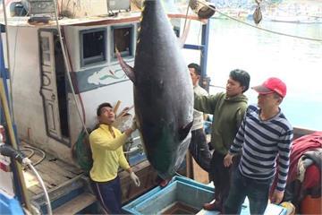 宜蘭今年第一條黑鮪魚!重達211.6公斤