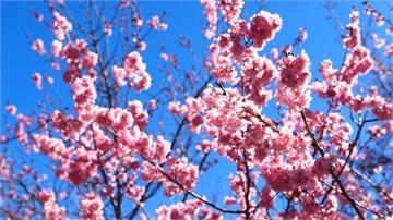 武陵櫻花季每日人數限6千人入園賞櫻落實防疫措施