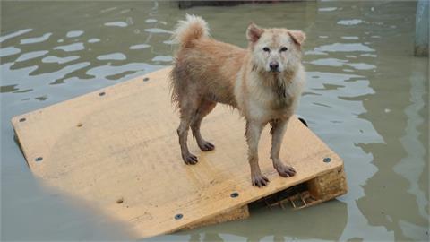 大雨重創黃媽媽狗園 流浪貓狗靠漂浮棧板免於泡在水中