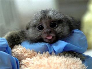 快新聞/剛從「狨猴幼兒園」畢業! 北市動物園「耶加」與「雪菲」見客