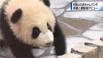 日本和歌山貓熊寶寶亮相 超萌魅力吸引人潮