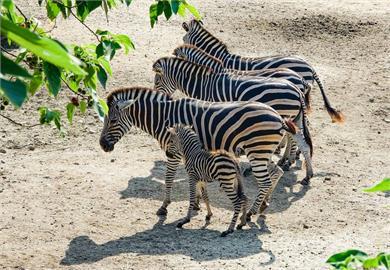 北市動物園封園期間再傳喜訊 查普曼斑馬產子