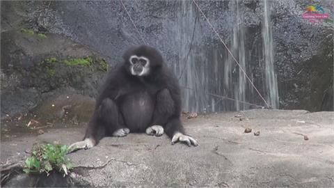 白手長臂猿當外送員替家人送餐 北市動物園清淤受阻