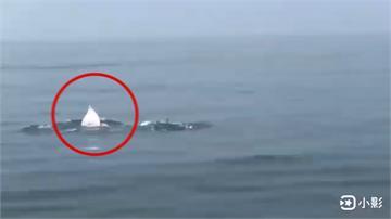白海豚不轉彎! 伴遊觀光船遊客樂