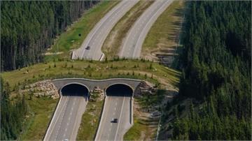 華盛頓州1.8億蓋「動物天橋」野生動物車禍下降80%