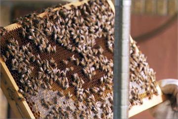 都市樂活「蜂」點子 你家也能養蜜蜂