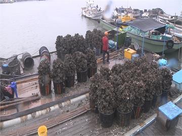 颱風來襲前快搶收!雲林蚵農:颱風來牡蠣會變小
