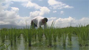 插秧水都告急!池上米臨減產危機規劃輪灌措施 水利署:不排除休耕