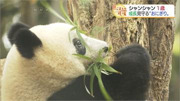貓熊「香香」見客滿週年!狂粉天天赴動物園跟拍