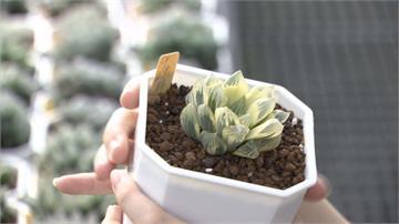 栽種多肉植物聞名  蘇啟仁培育獨特品種