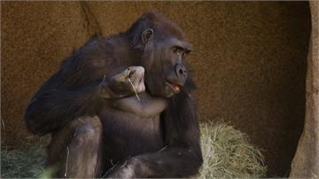 美動物園大猩猩染疫 疑遭無症狀員工感染