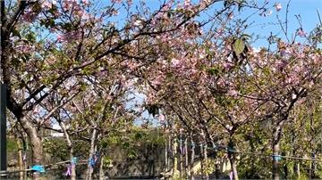 芬園平地櫻花盛開 轉型花卉園區改收費制