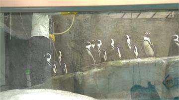 確保黑腳企鵝寶寶順利長大 動物園首度採取人工育雛