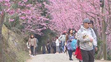 粉紅櫻花綻放...  竹東河濱公園櫻花大道美翻