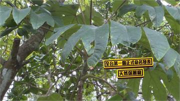 全台首例正式命名植物「蓪草」 竟是原始保麗龍
