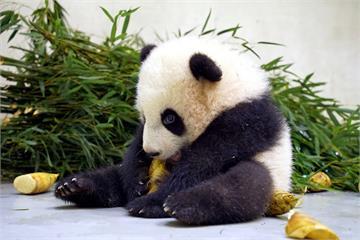快新聞/吃冬筍模樣超萌! 貓熊「圓寶」化身御飯糰