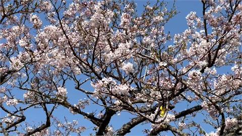 一把火燒掉櫻花季觀光!阿里山遊樂區冷清