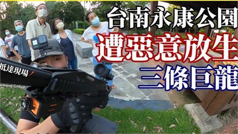 台南公園驚見「3巨龍」!綠鬣蜥獵人20米高空擊落 怒批:別再棄養