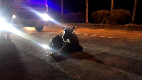 馬路突竄出遭兩車接連撞上 水鹿奄奄一息