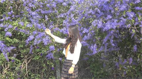 南投中寮鄉永芳村「紫色風暴」 80公尺錫葉藤花牆 花期2-3月賞花趁現在