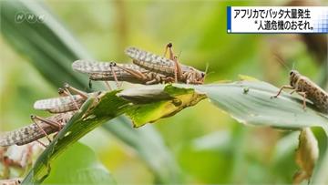 快新聞/非洲蝗蟲持續東飛 防檢局:應不會到台灣