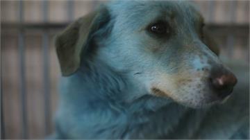 整隻狗變藍色! 俄西部工業城市驚見「藍狗」