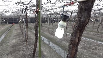 葡萄防寒3撇步!點燈.圍網.澆地下水