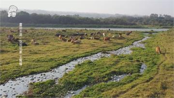 貓羅溪「牛群」過河奇景爆紅 河川局籲飼主合法申請