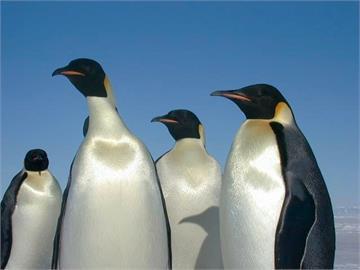 全球暖化海冰消融 皇帝企鵝2100年前恐瀕臨滅絕