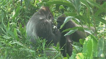 北市動物園過中秋3隻金剛猩猩入境隨俗吃柚子