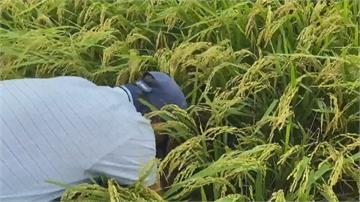 「分秘夜蛾」侵襲台東!關山上百公頃稻米枯黃壞死